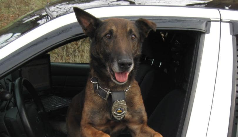 Warsaw police dog dies after cancer battle - WOWO 1190 AM